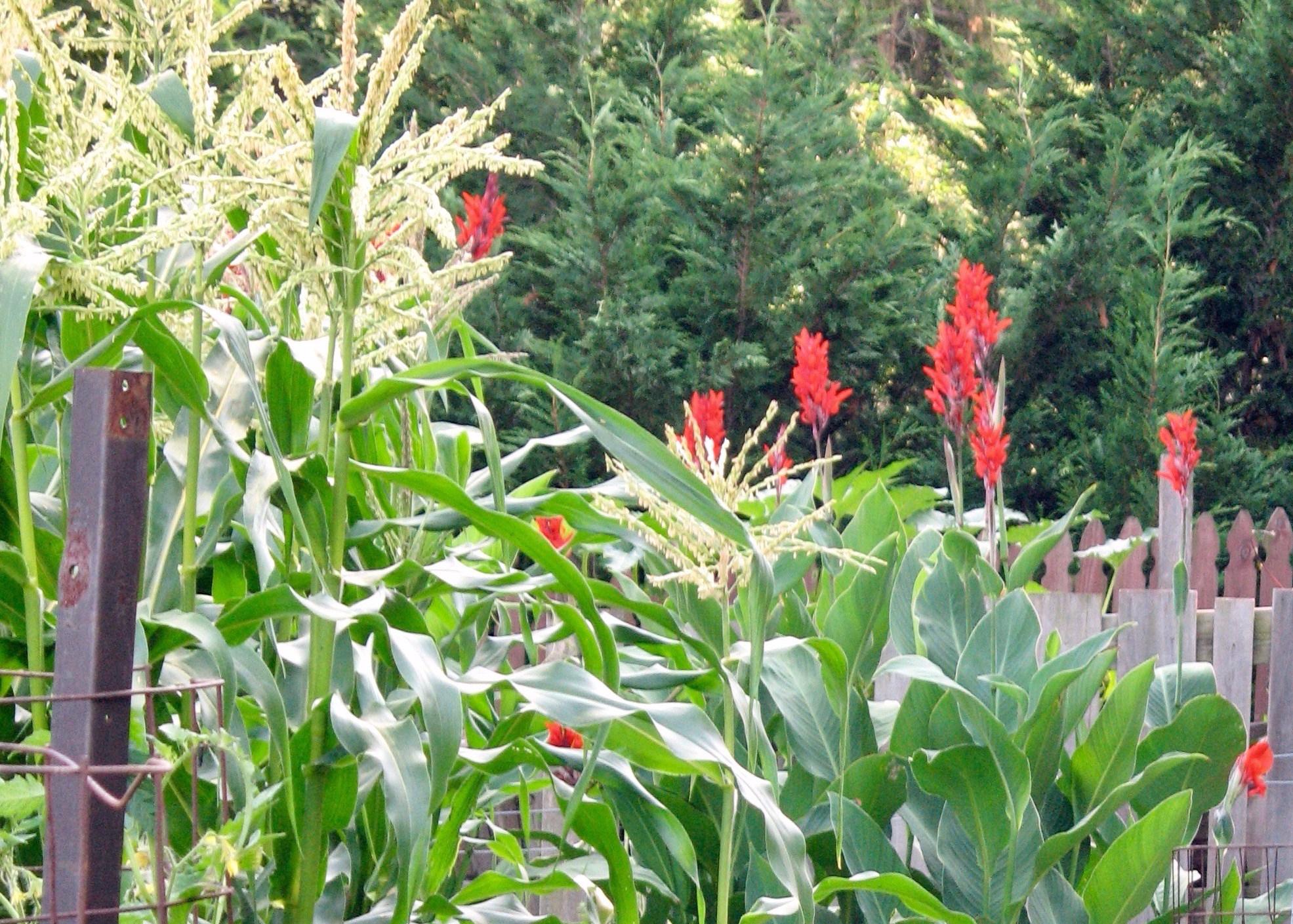 cannas-corn-e1505829159295.jpg