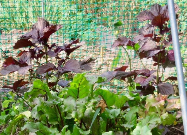 shiso with beets